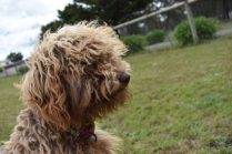 Bling-Poodle-7510-Banksia Park Puppies - 56 of 100
