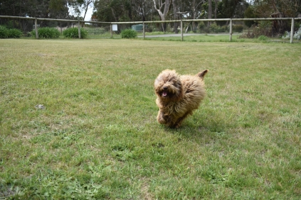 Bling-Poodle-7510-Banksia Park Puppies - 62 of 100