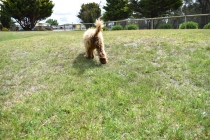 Bling-Poodle-7510-Banksia Park Puppies - 71 of 100