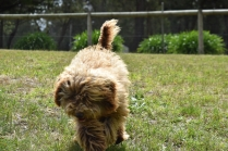 Bling-Poodle-7510-Banksia Park Puppies - 79 of 100