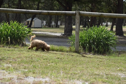 Bling-Poodle-7510-Banksia Park Puppies - 92 of 100