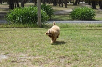 Bling-Poodle-7510-Banksia Park Puppies - 95 of 100