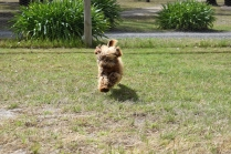 Bling-Poodle-7510-Banksia Park Puppies - 96 of 100
