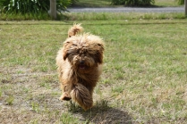 Bling-Poodle-7510-Banksia Park Puppies - 99 of 100