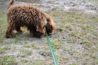 Bobbles-Poodle-6419-Banksia Park Puppies - 11 of 76