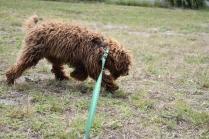 Bobbles-Poodle-6419-Banksia Park Puppies - 15 of 76