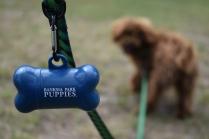 Bobbles-Poodle-6419-Banksia Park Puppies - 19 of 76