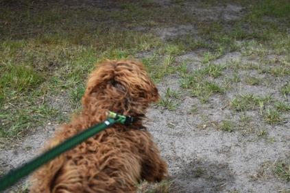 Bobbles-Poodle-6419-Banksia Park Puppies - 2 of 76