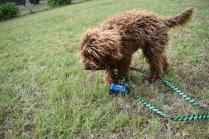Bobbles-Poodle-6419-Banksia Park Puppies - 27 of 76