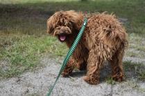 Bobbles-Poodle-6419-Banksia Park Puppies - 3 of 76
