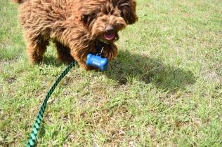 Bobbles-Poodle-6419-Banksia Park Puppies - 31 of 76