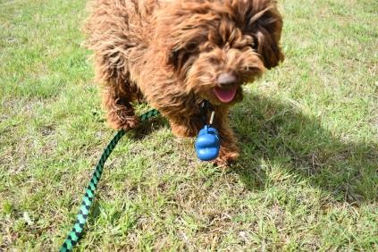 Bobbles-Poodle-6419-Banksia Park Puppies - 32 of 76