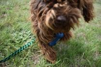 Bobbles-Poodle-6419-Banksia Park Puppies - 34 of 76
