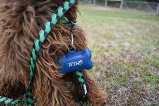 Bobbles-Poodle-6419-Banksia Park Puppies - 46 of 76