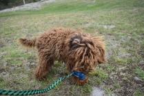 Bobbles-Poodle-6419-Banksia Park Puppies - 53 of 76