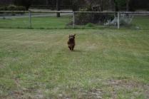 Bobbles-Poodle-6419-Banksia Park Puppies - 55 of 76