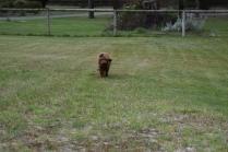 Bobbles-Poodle-6419-Banksia Park Puppies - 56 of 76