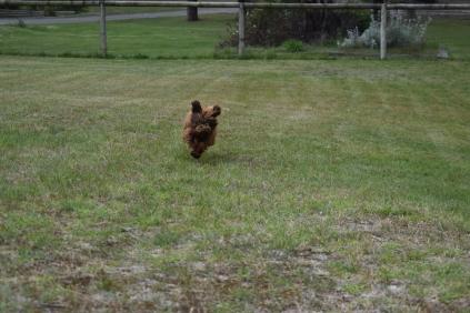 Bobbles-Poodle-6419-Banksia Park Puppies - 57 of 76