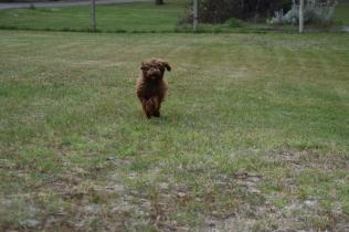 Bobbles-Poodle-6419-Banksia Park Puppies - 58 of 76