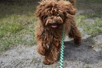 Bobbles-Poodle-6419-Banksia Park Puppies - 6 of 76