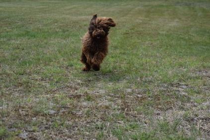 Bobbles-Poodle-6419-Banksia Park Puppies - 60 of 76