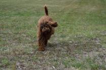 Bobbles-Poodle-6419-Banksia Park Puppies - 61 of 76