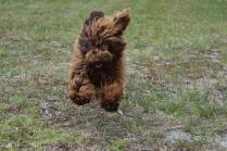 Bobbles-Poodle-6419-Banksia Park Puppies - 62 of 76
