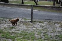 Bobbles-Poodle-6419-Banksia Park Puppies - 63 of 76