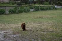 Bobbles-Poodle-6419-Banksia Park Puppies - 64 of 76