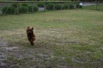 Bobbles-Poodle-6419-Banksia Park Puppies - 65 of 76