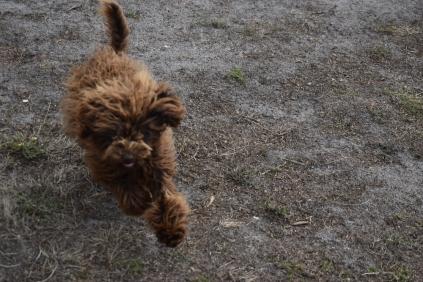 Bobbles-Poodle-6419-Banksia Park Puppies - 72 of 76