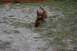 Bobbles-Poodle-6419-Banksia Park Puppies - 73 of 76