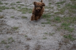 Bobbles-Poodle-6419-Banksia Park Puppies - 74 of 76