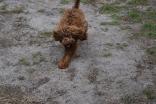Bobbles-Poodle-6419-Banksia Park Puppies - 75 of 76