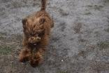 Bobbles-Poodle-6419-Banksia Park Puppies - 76 of 76