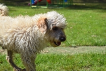 Snedley-Schnoodle-Banksia Park Puppies - 15 of 62