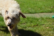 Snedley-Schnoodle-Banksia Park Puppies - 16 of 62
