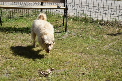 Snedley-Schnoodle-Banksia Park Puppies - 20 of 62