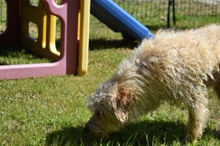 Snedley-Schnoodle-Banksia Park Puppies - 21 of 62
