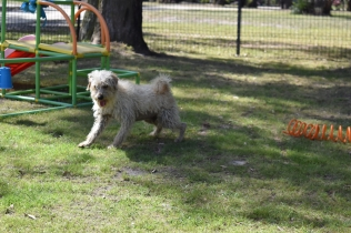 Snedley-Schnoodle-Banksia Park Puppies - 22 of 62