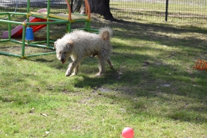 Snedley-Schnoodle-Banksia Park Puppies - 23 of 62