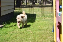 Snedley-Schnoodle-Banksia Park Puppies - 28 of 62