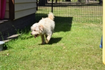 Snedley-Schnoodle-Banksia Park Puppies - 29 of 62