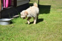 Snedley-Schnoodle-Banksia Park Puppies - 30 of 62