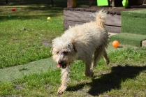 Snedley-Schnoodle-Banksia Park Puppies - 35 of 62