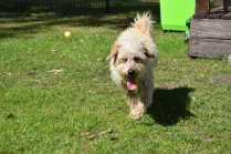 Snedley-Schnoodle-Banksia Park Puppies - 38 of 62