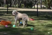 Snedley-Schnoodle-Banksia Park Puppies - 4 of 62
