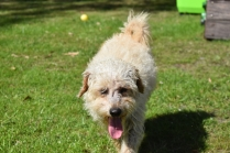 Snedley-Schnoodle-Banksia Park Puppies - 40 of 62
