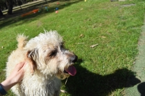 Snedley-Schnoodle-Banksia Park Puppies - 41 of 62