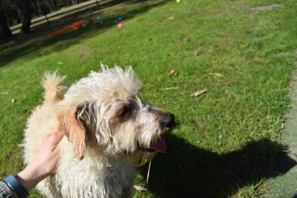 Snedley-Schnoodle-Banksia Park Puppies - 42 of 62